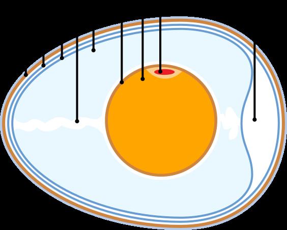 Structure de l'oeuf de la poule