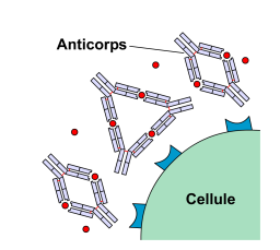 Action des anticorps  Source : Ac-toxine2.png , par  Yohan via Wikimedia commons,   CC-BY-SA-3.0-migrated